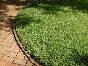 St. Augustine grass, in St. Augustine, Florida
