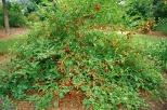 Inca Red Drop. 3' x 5'.
