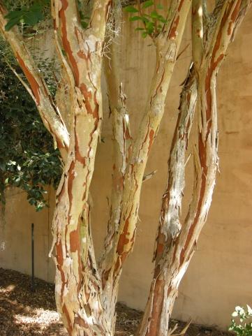 Exfoliating bark of a crepe myrtle.