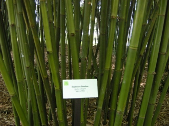 Seabreeze bamboo tolerates some flooding.
