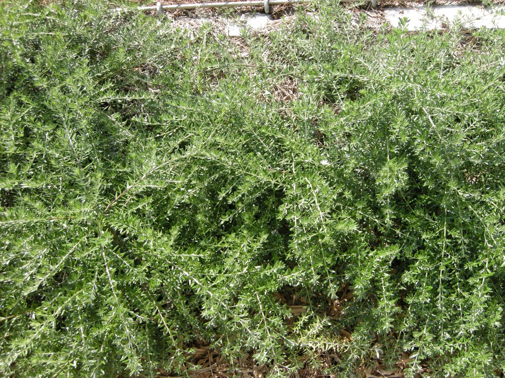 Westringia is a drought tolerant, low maintenance shrub.