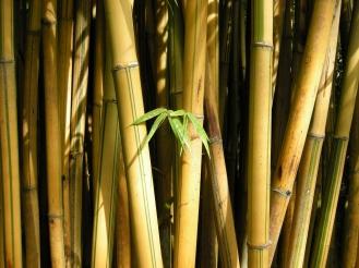 Flavidorivens bamboo.