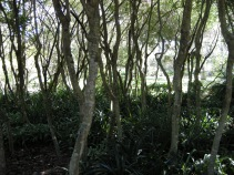 A shaded grove made from Ilex