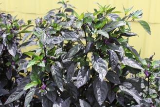 Pepper 'Black Pearl'