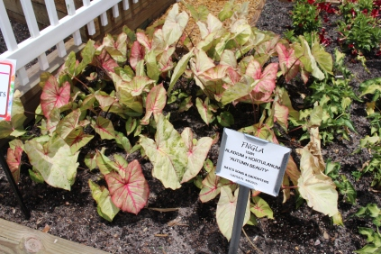 New caladium 'Autumn Beauty'. In the shade these leaves blush with orange/pink.