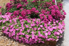 Petunias and dianthus