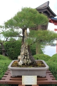 Australian pine bonsai is 100 years old. Epcot's Japan.