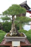 Australian pine bonsai is 100 years old. Epcot's Japan.