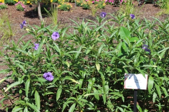 'Mayan Blue' new sterile (non-seeding) Mexican Petunia from the University of Florida breeding program.
