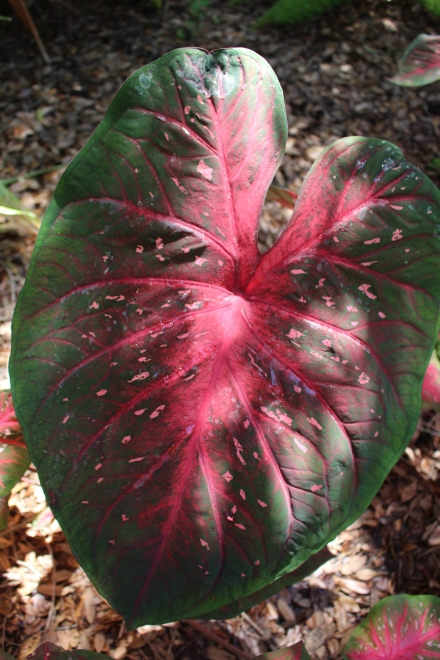 'Red Flash' one of the largest, showiest of the shade-loving fancy leaf caladiums.