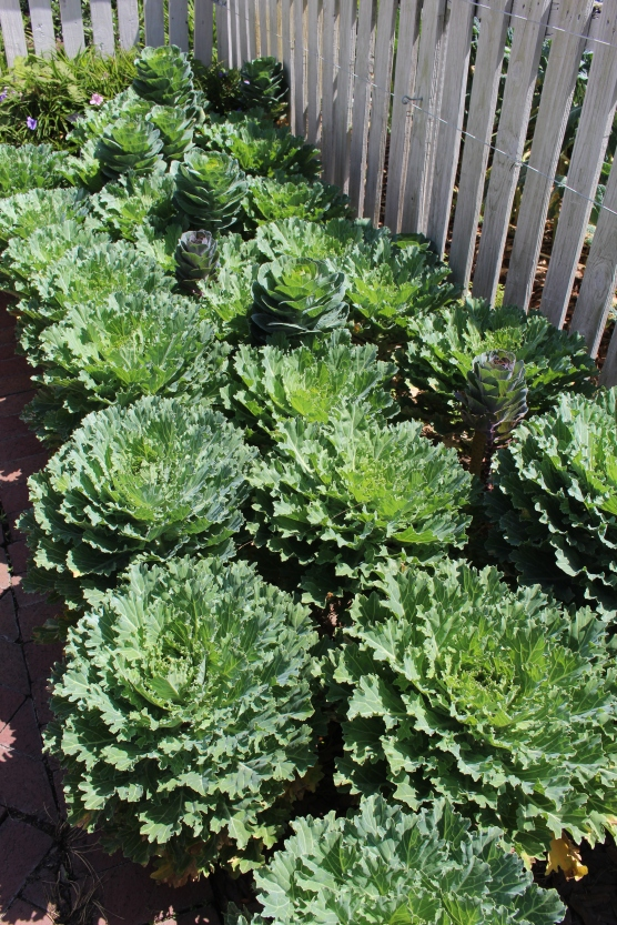 """Flowering"" cabbage. In colder temperatures the leaves would have more vivid color."