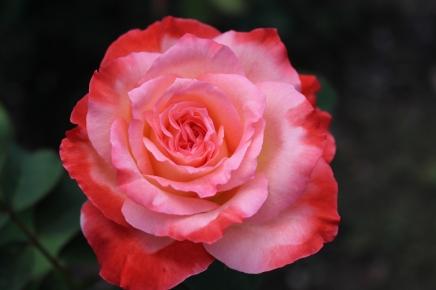 'Brigadoon' rose.
