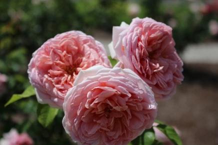 David Austin English rose.