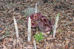Amorphophallus in bloom with new leaves breaking through the soil.