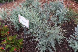 New dwarf eucalyptus, 'Silverdrop'.