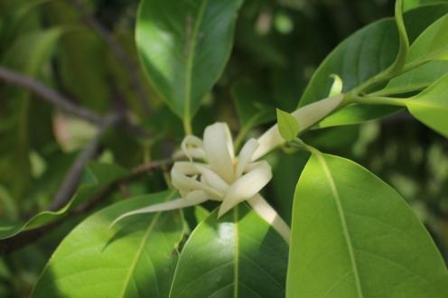 Champaca's fragrant blooms.