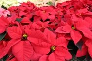 noel red (2)