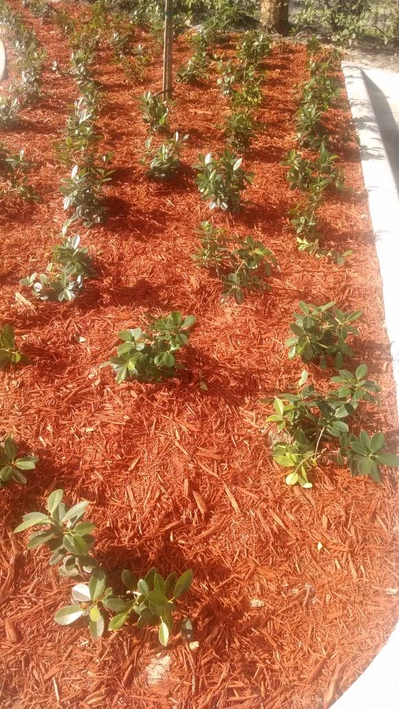 ficus overplanted