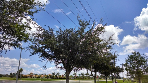 oaks under powerlines (5)