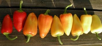 'Mariachi' a medium hot pepper.