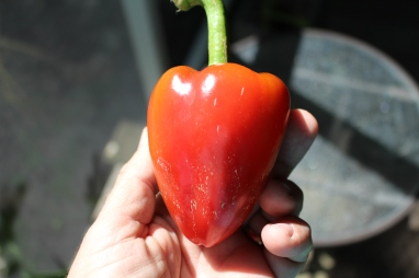 'Pimiento L' sweet pepper.