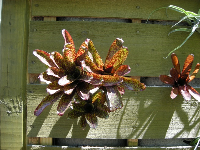 Bromeliad pups like this 'MoPeppaPlease' easily poked into X cuts in the fabric.