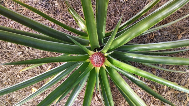 Pineapple beginning to bloom.