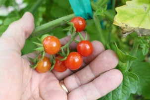 'Wild Cherry' is a puny fruit but the flavor explodes in your mouth.