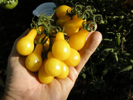 'Yellow Pear' is a sugary snack and a very vigorous vine.