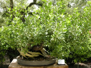 bonsai (11)