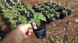 tomato seedlings (1)
