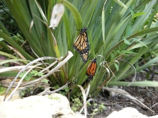butterflies emerge (1)