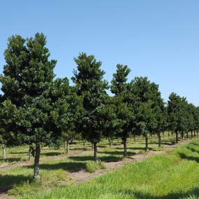 Japanese Blueberry is a deep-green, small ornamental tree.