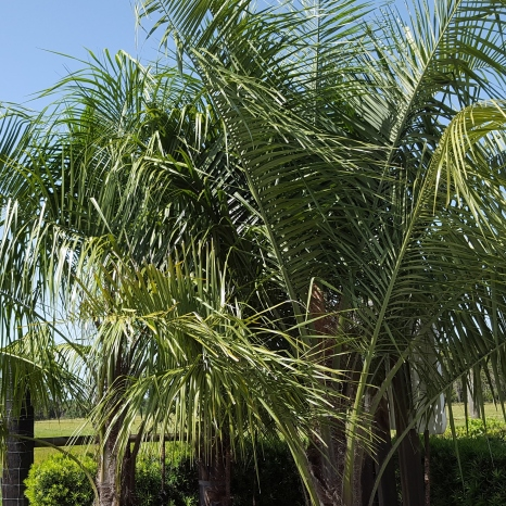 Mule palm is a cross between the Pindo palm and the Queen palm.