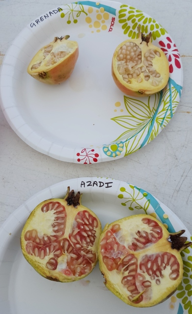 Ripe fruit, sliced open.