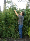 Typical tomato plant will exceed 8' tall.