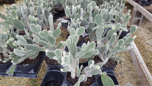 These opuntias are covered with soft-looking spines that impale your fingers.