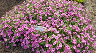Vibrant pink bed of petunias 'Color Rush Pink' at the Orange County Extension gardens.