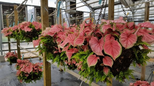You don't need hanging plants in hanging baskets: Caladiums and ferns for a shady spot.