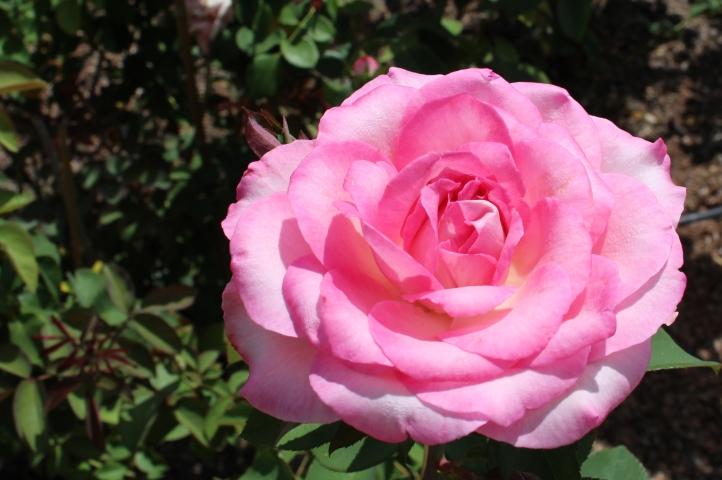Fragrant roses at Leu Gardens.