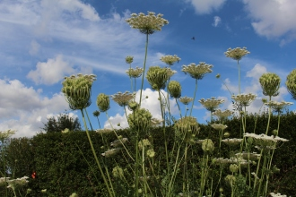 Common Queen Anne's Lace.