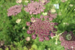 A new color of Ammi magus 'Dara' or chocolate False Queen Anne's Lace.