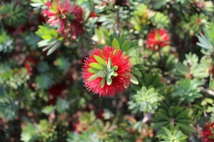 Dwarf Bottle Brush shrubs in bloom.