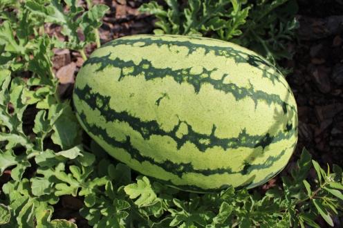 Perfect watermelon.