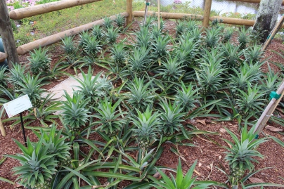 Gotta have fruits: Pineapple ground cover.