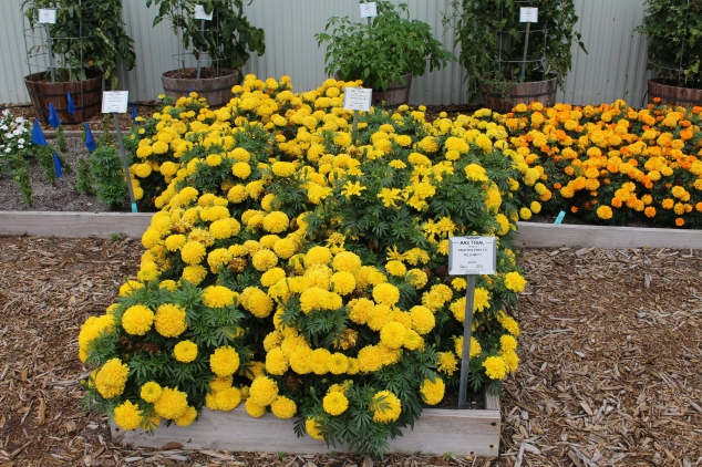A mass of marigolds.