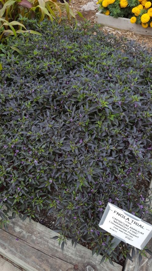 Deep purple foliage on 'Midnight Fire' pepper.