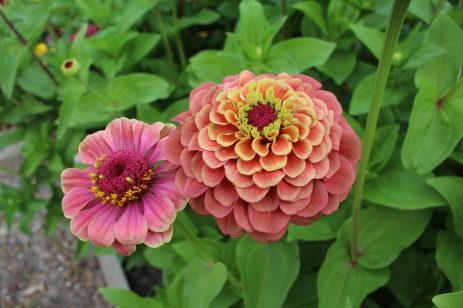 Bicolor zinnia 'Queen Red Lime'.