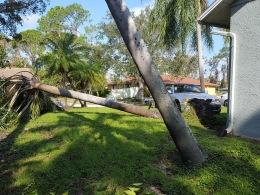 Queen palms often topple first.