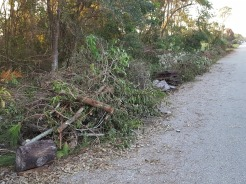 Fall in Florida: Leaves hit the ground while still attached to the trees. FEMA claw truck will haul this off within two weeks.